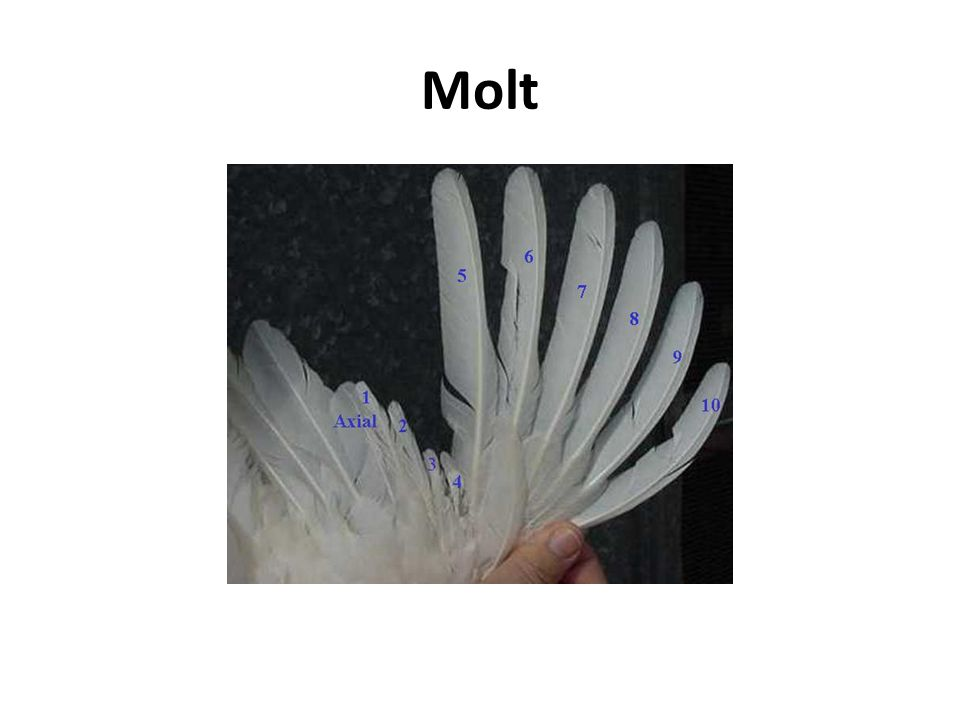 Molt Example of a Four-feather molt,