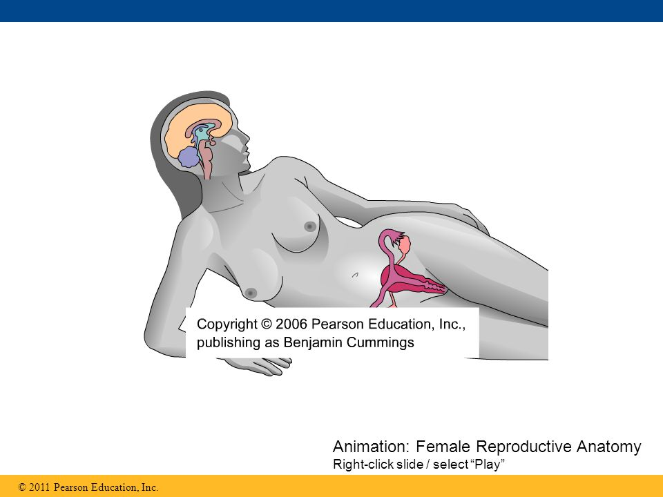 Animation: Female Reproductive Anatomy Right-click slide / select Play