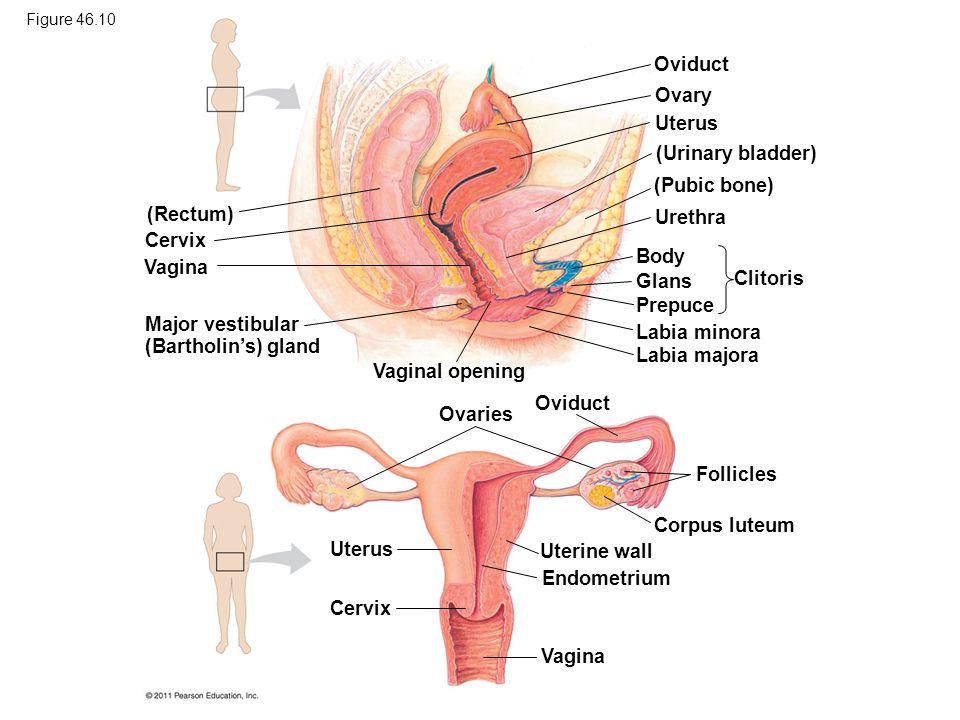 Major vestibular (Bartholin's) gland Labia minora Labia majora