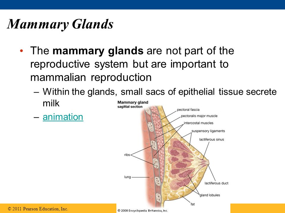 Mammary Glands The mammary glands are not part of the reproductive system but are important to mammalian reproduction.