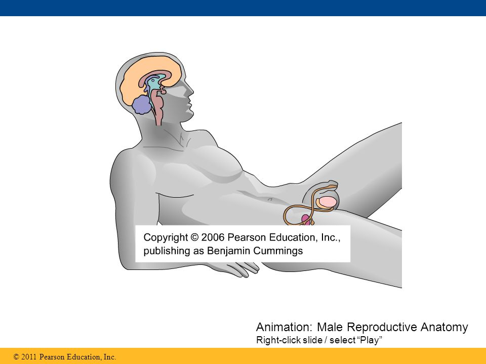 Animation: Male Reproductive Anatomy Right-click slide / select Play