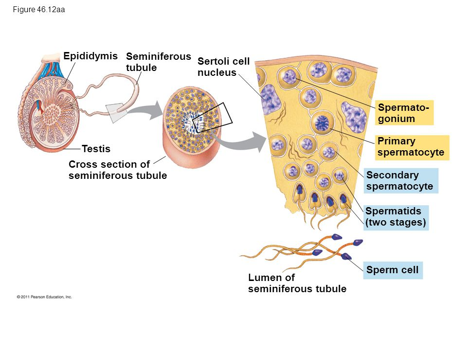 Cross section of seminiferous tubule Secondary spermatocyte