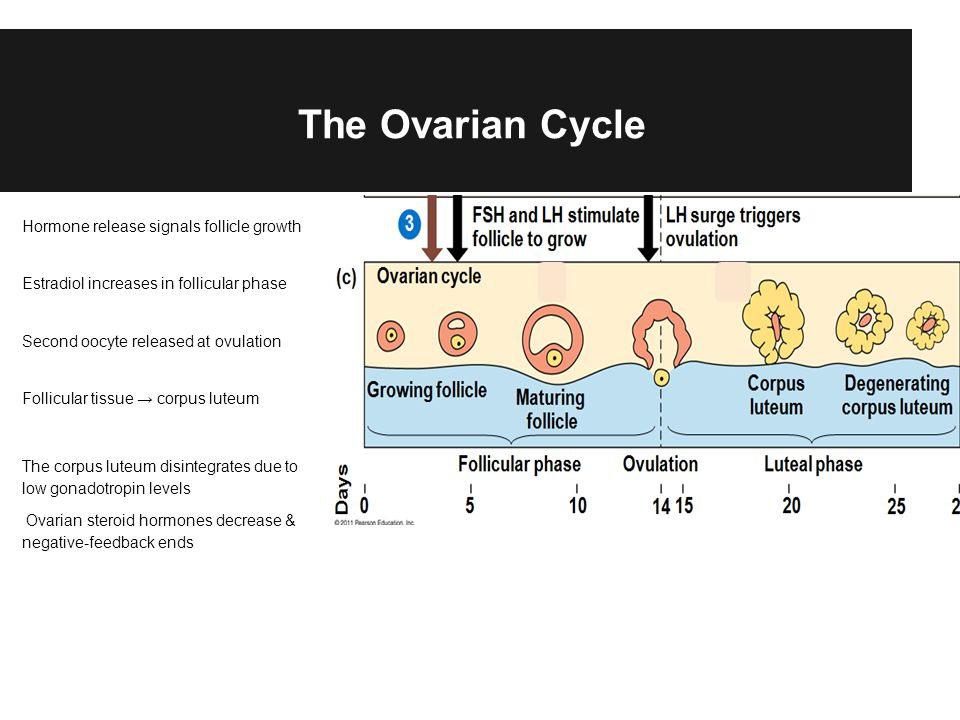 The Ovarian Cycle Hormone release signals follicle growth