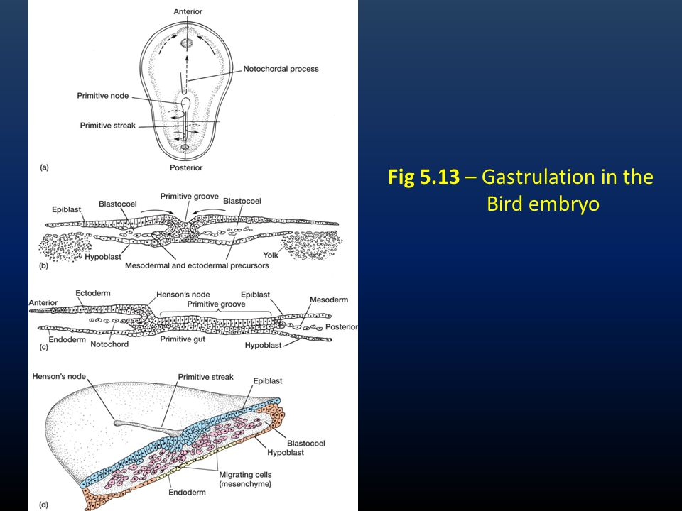 Fig 5.13 – Gastrulation in the