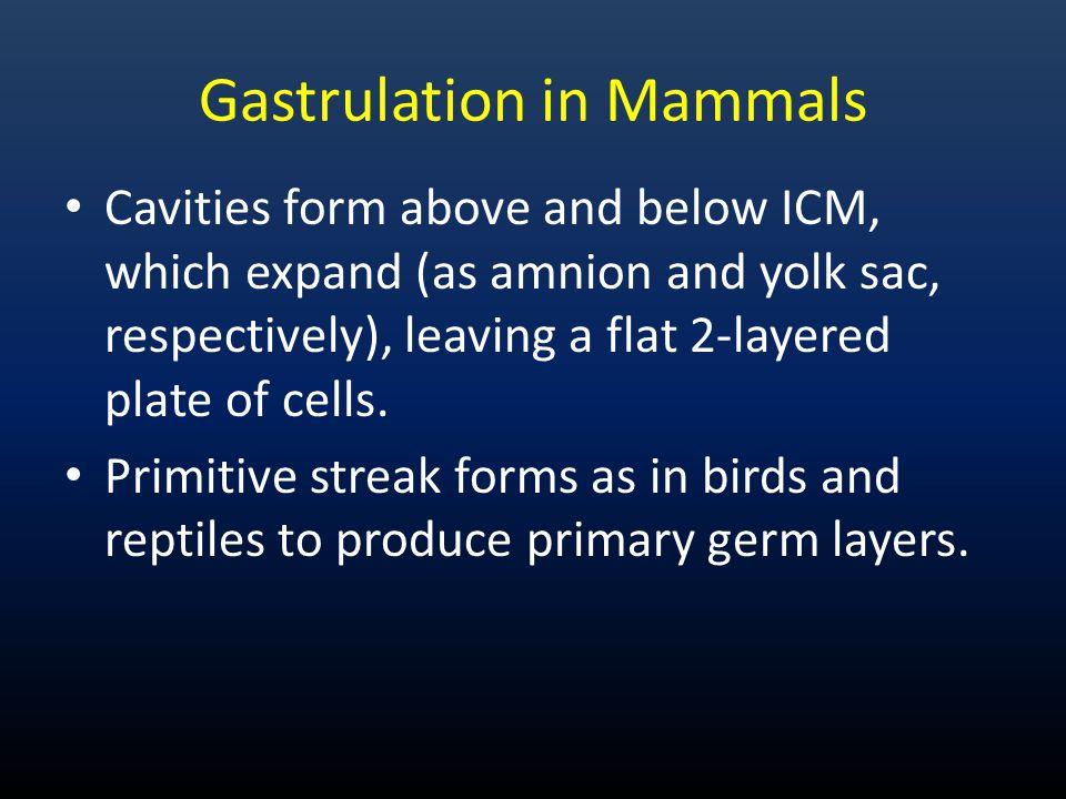 Gastrulation in Mammals