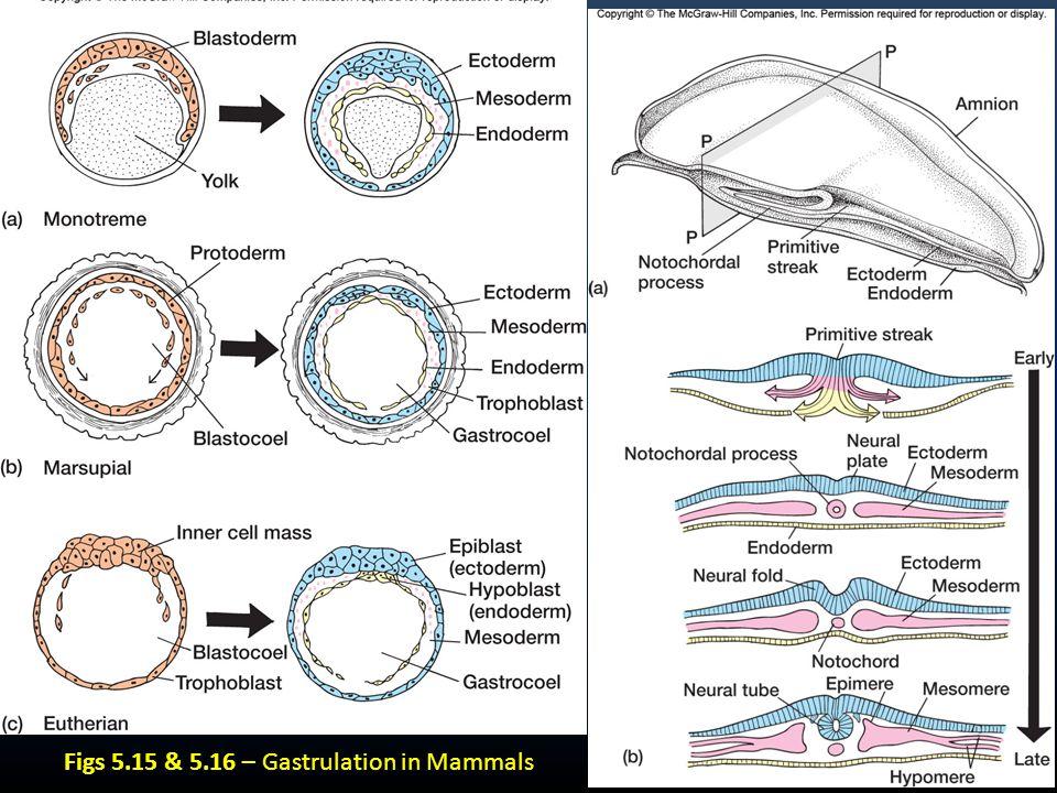 Figs 5.15 & 5.16 – Gastrulation in Mammals