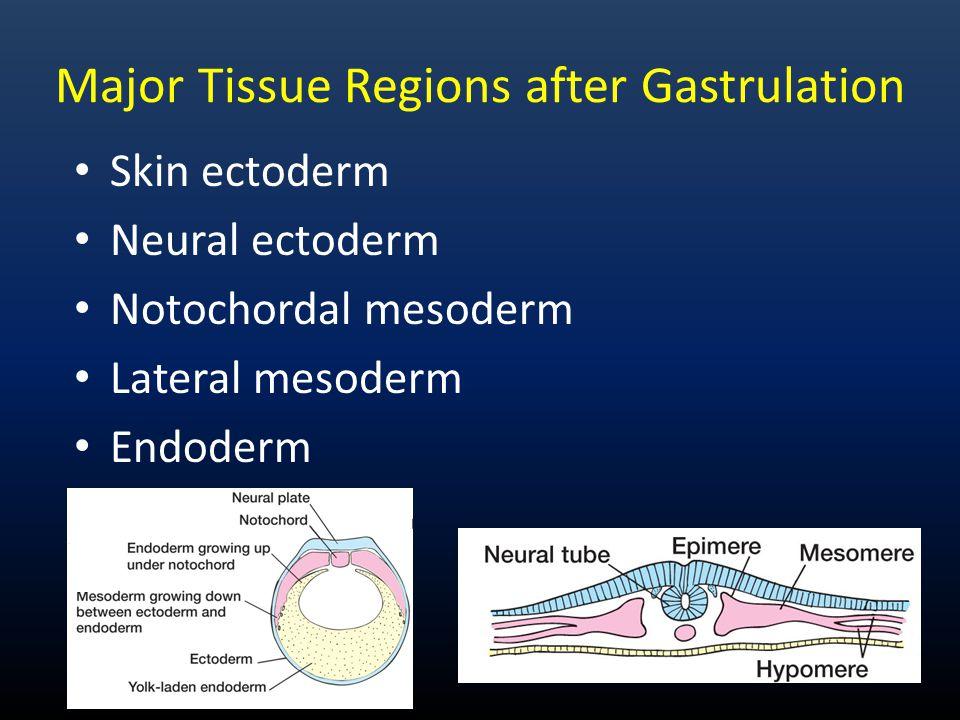 Major Tissue Regions after Gastrulation