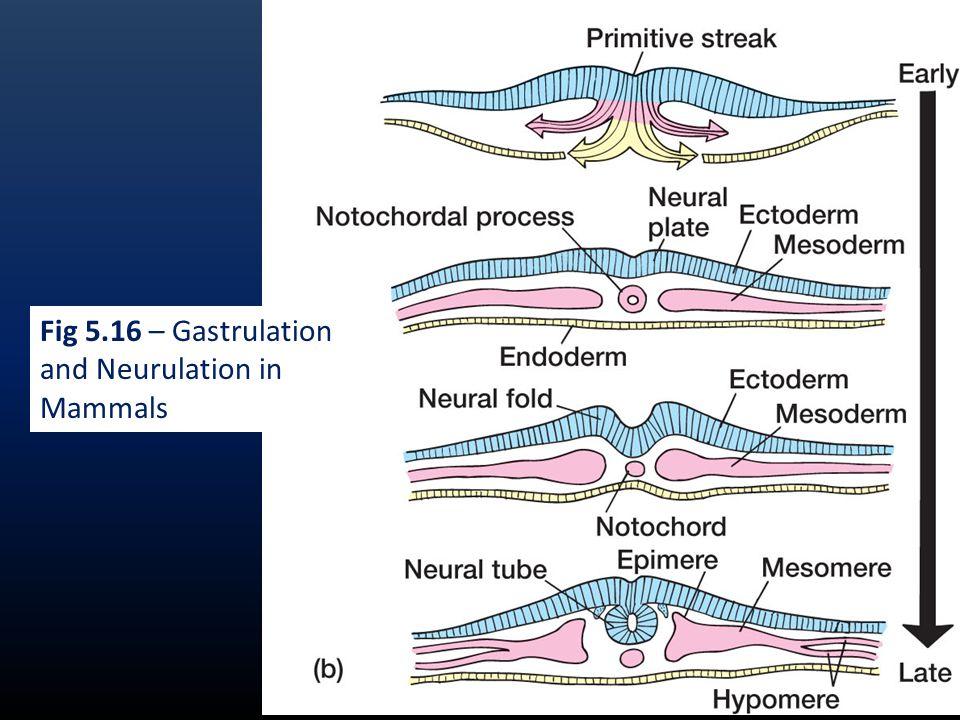 Fig 5.16 – Gastrulation and Neurulation in Mammals