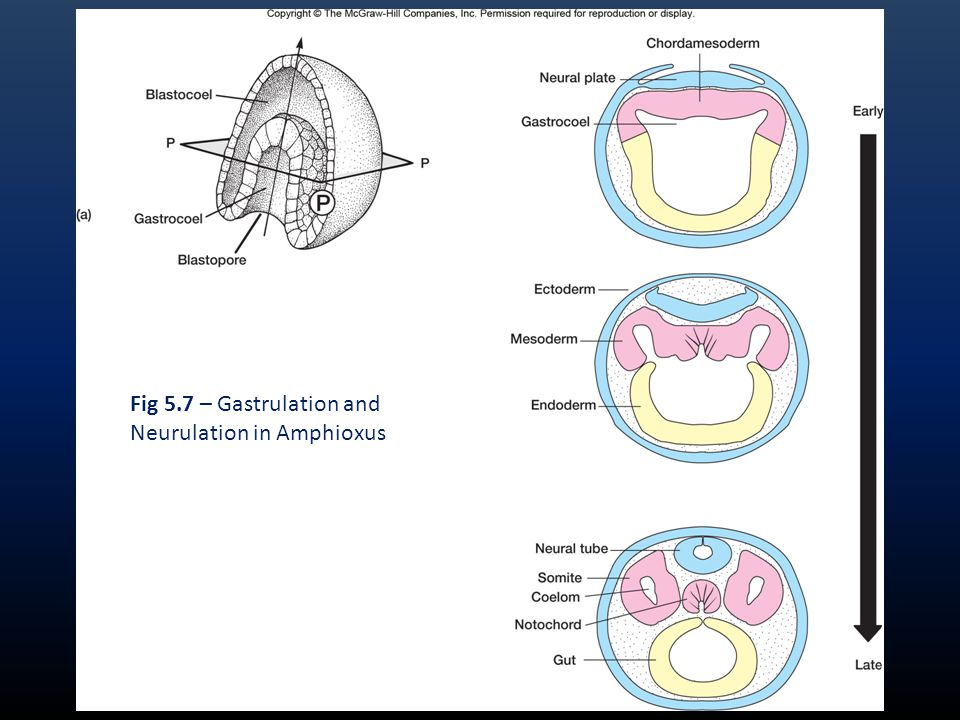 Fig 5.7 – Gastrulation and Neurulation in Amphioxus