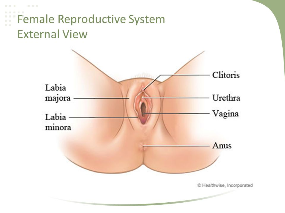 External female reproductive system diagram choice image human external female reproductive system parts and functions archives human reproduction reproductive anatomy ppt video online download ccuart Choice Image