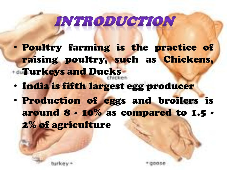 INTRODUCTION Poultry farming is the practice of raising poultry, such as Chickens, Turkeys and Ducks.