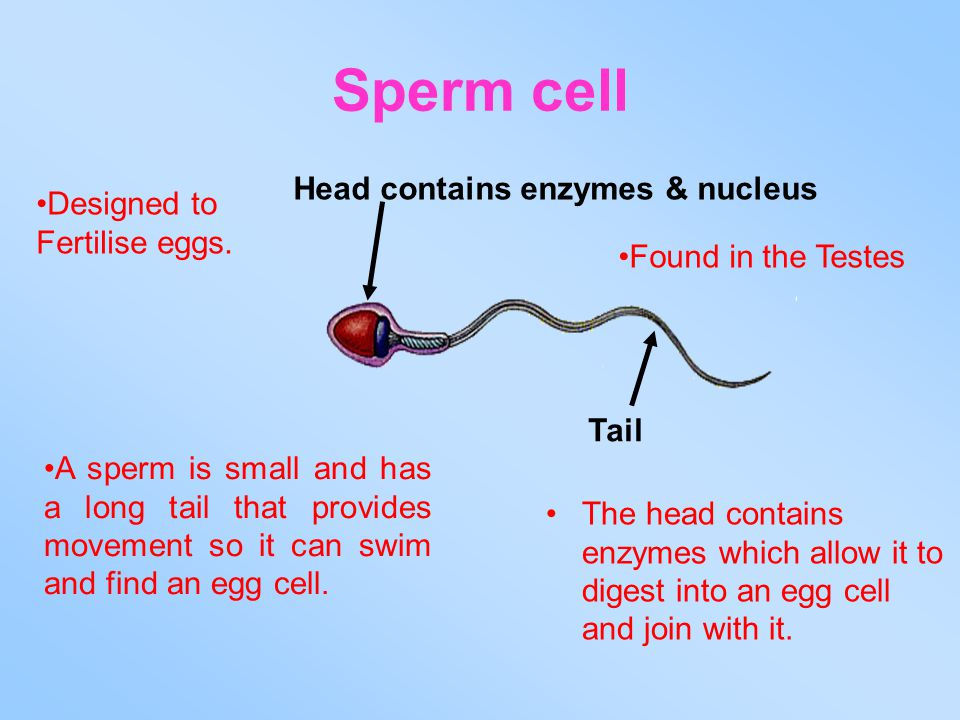Sperm cell Head contains enzymes & nucleus Designed to Fertilise eggs.