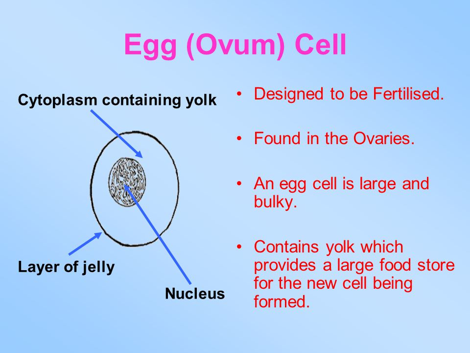 Egg (Ovum) Cell Designed to be Fertilised. Found in the Ovaries.