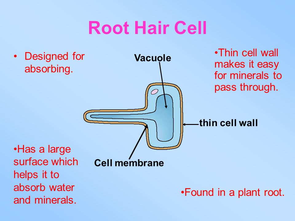 Root Hair Cell Thin cell wall makes it easy for minerals to pass through. Designed for absorbing. Vacuole.