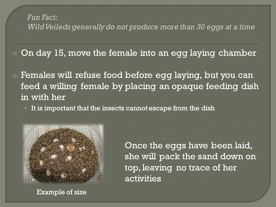 On day 15, move the female into an egg laying chamber