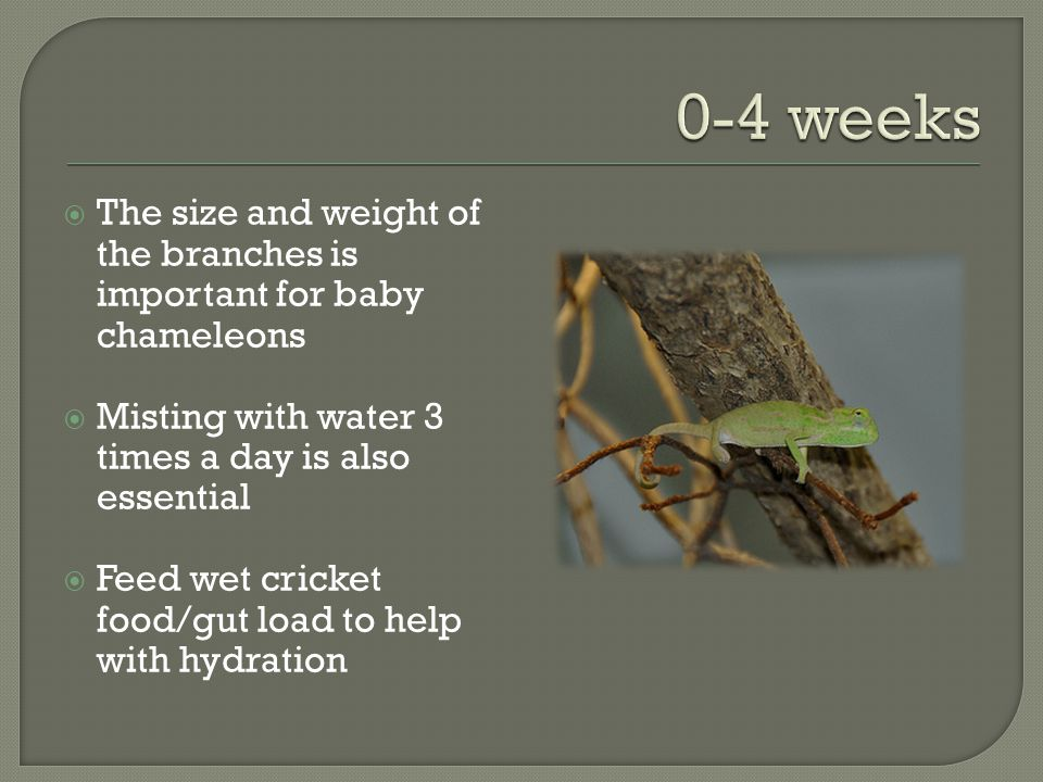 0-4 weeks The size and weight of the branches is important for baby chameleons. Misting with water 3 times a day is also essential.
