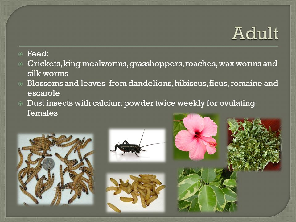 Adult Feed: Crickets, king mealworms, grasshoppers, roaches, wax worms and silk worms.