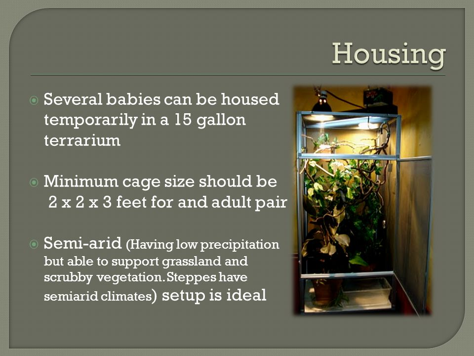 Housing Several babies can be housed temporarily in a 15 gallon terrarium. Minimum cage size should be.
