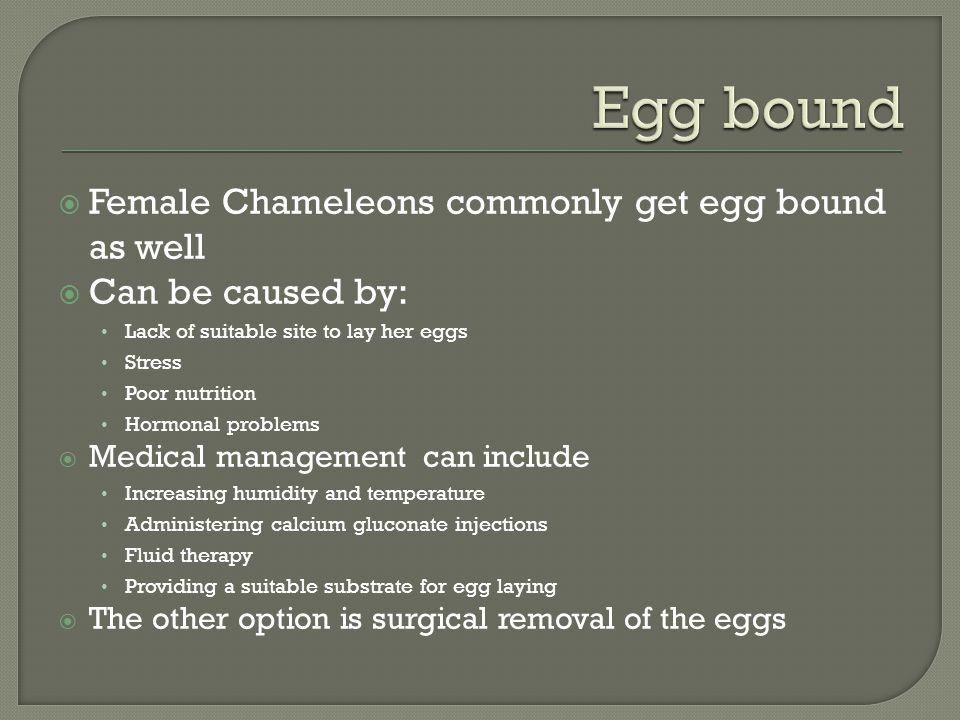 Egg bound Female Chameleons commonly get egg bound as well