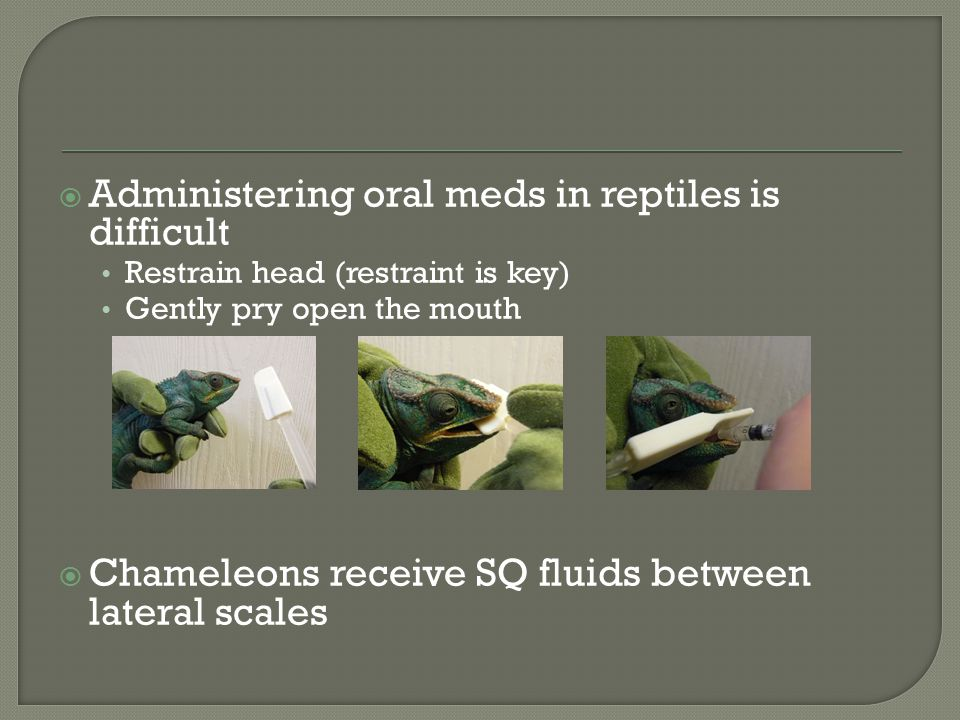 Administering oral meds in reptiles is difficult