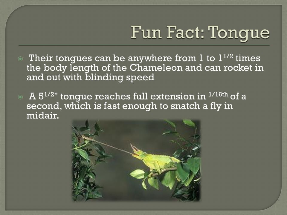 Fun Fact: Tongue Their tongues can be anywhere from 1 to 11/2 times the body length of the Chameleon and can rocket in and out with blinding speed.