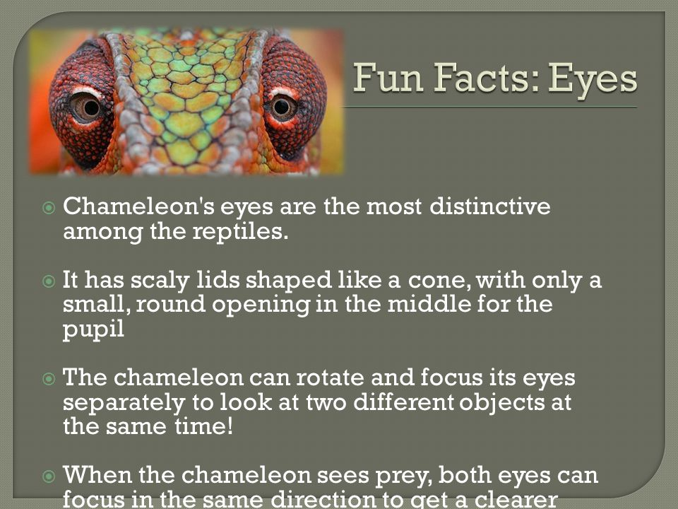Fun Facts: Eyes Chameleon s eyes are the most distinctive among the reptiles.
