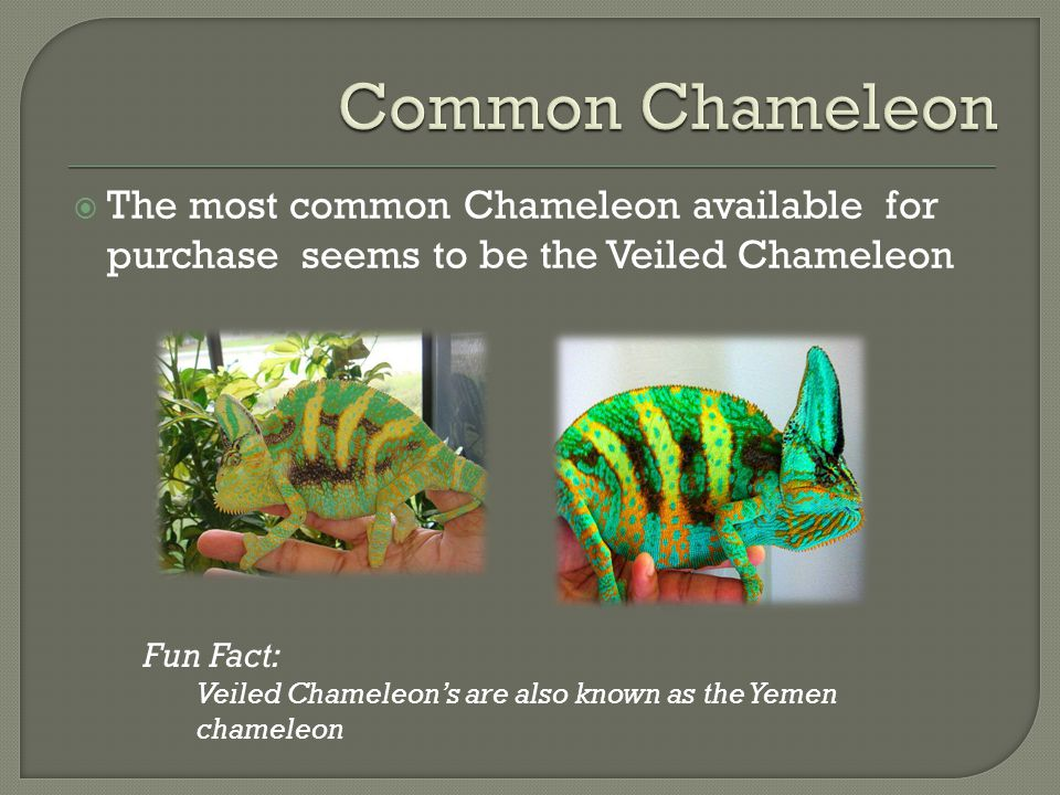 Common Chameleon The most common Chameleon available for purchase seems to be the Veiled Chameleon.