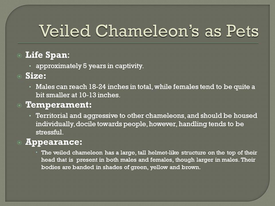 Veiled Chameleon's as Pets