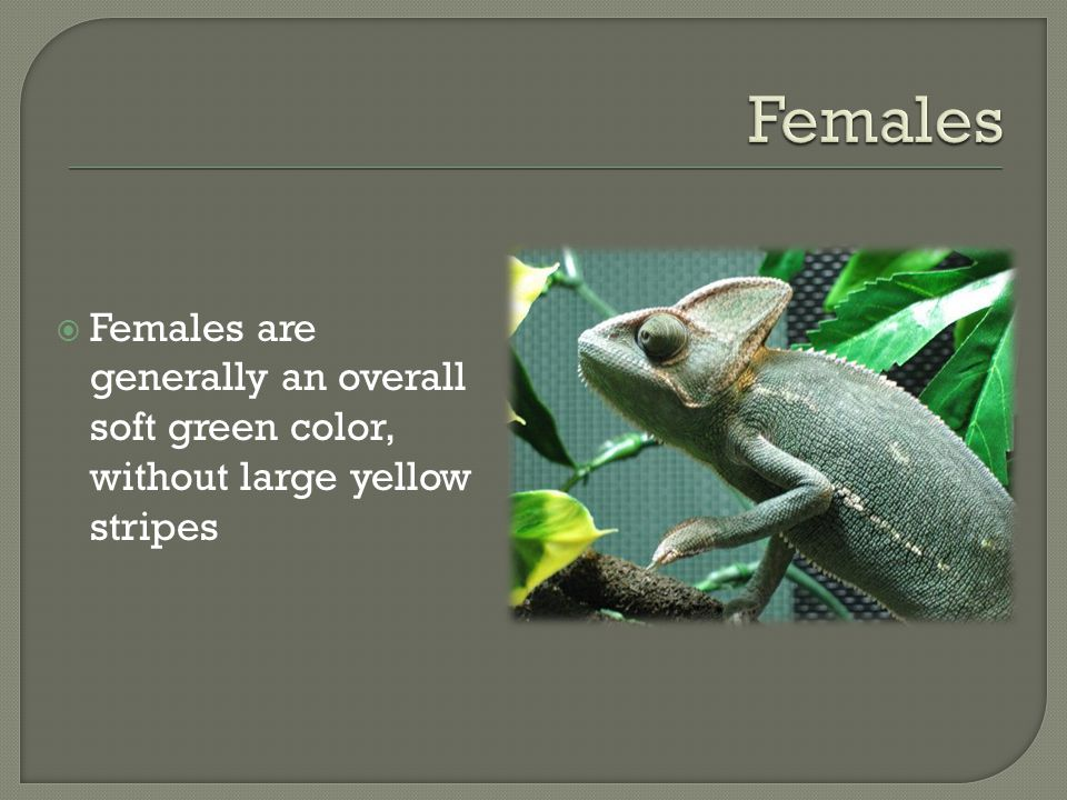Females Females are generally an overall soft green color, without large yellow stripes