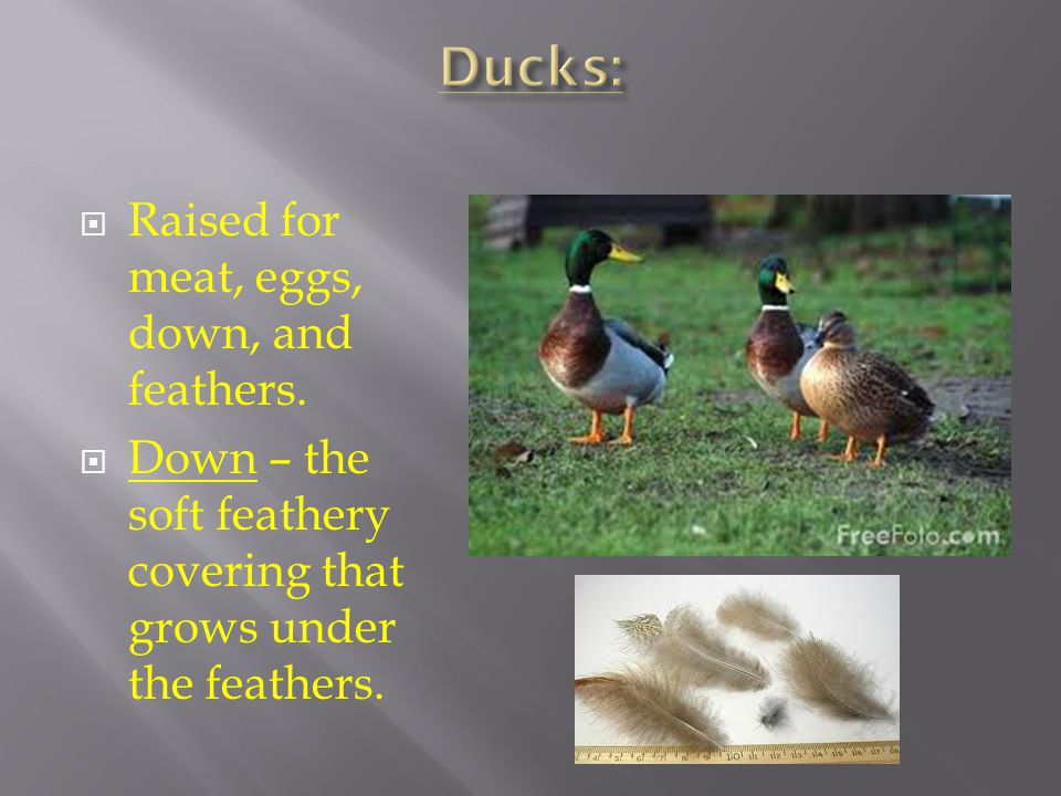 Ducks: Raised for meat, eggs, down, and feathers.