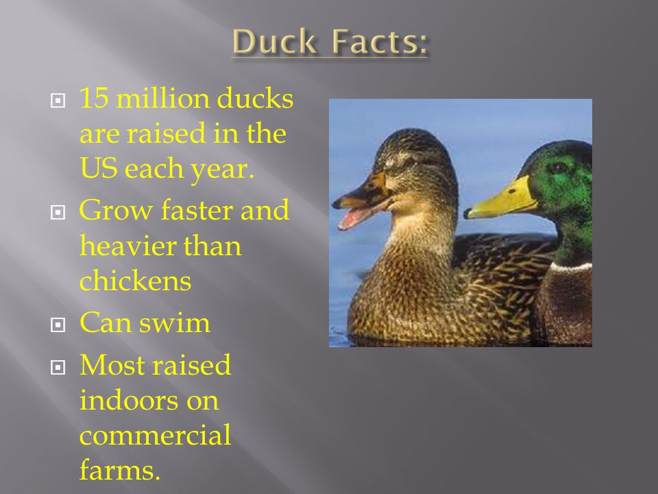 Duck Facts: 15 million ducks are raised in the US each year.