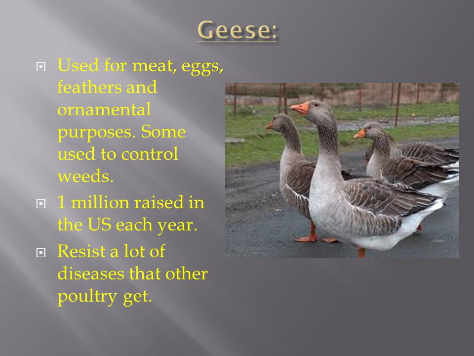 Geese: Used for meat, eggs, feathers and ornamental purposes. Some used to control weeds. 1 million raised in the US each year.