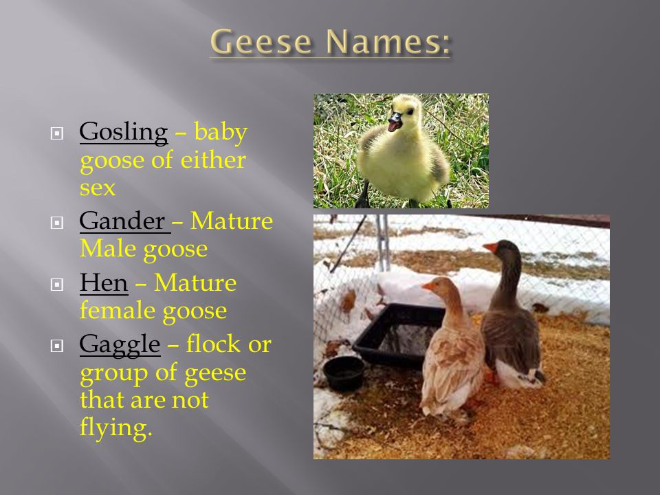 Geese Names: Gosling – baby goose of either sex