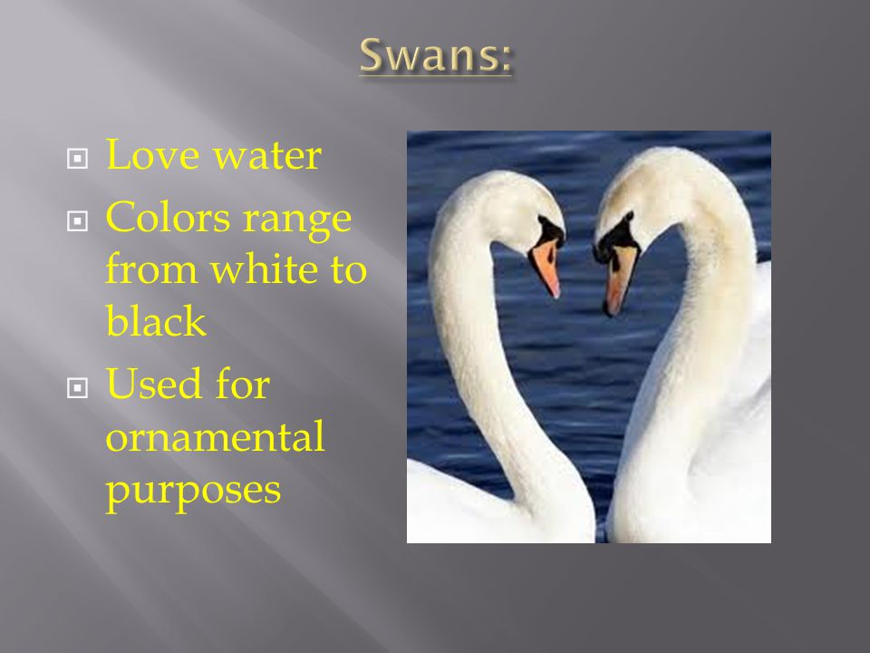 Swans: Love water Colors range from white to black