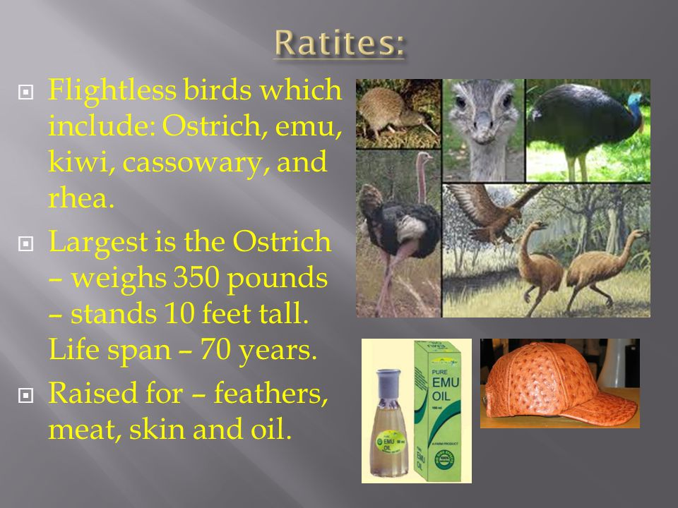 Ratites: Flightless birds which include: Ostrich, emu, kiwi, cassowary, and rhea.