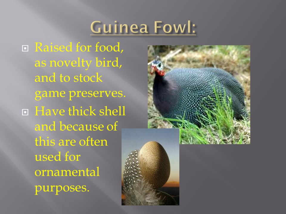 Guinea Fowl: Raised for food, as novelty bird, and to stock game preserves.