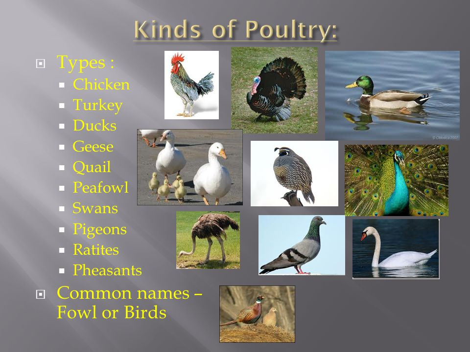 Kinds of Poultry: Types : Common names – Fowl or Birds Chicken Turkey