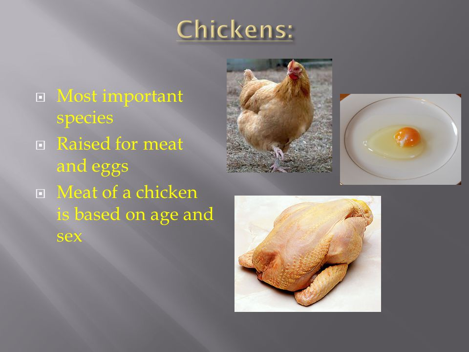 Chickens: Most important species Raised for meat and eggs