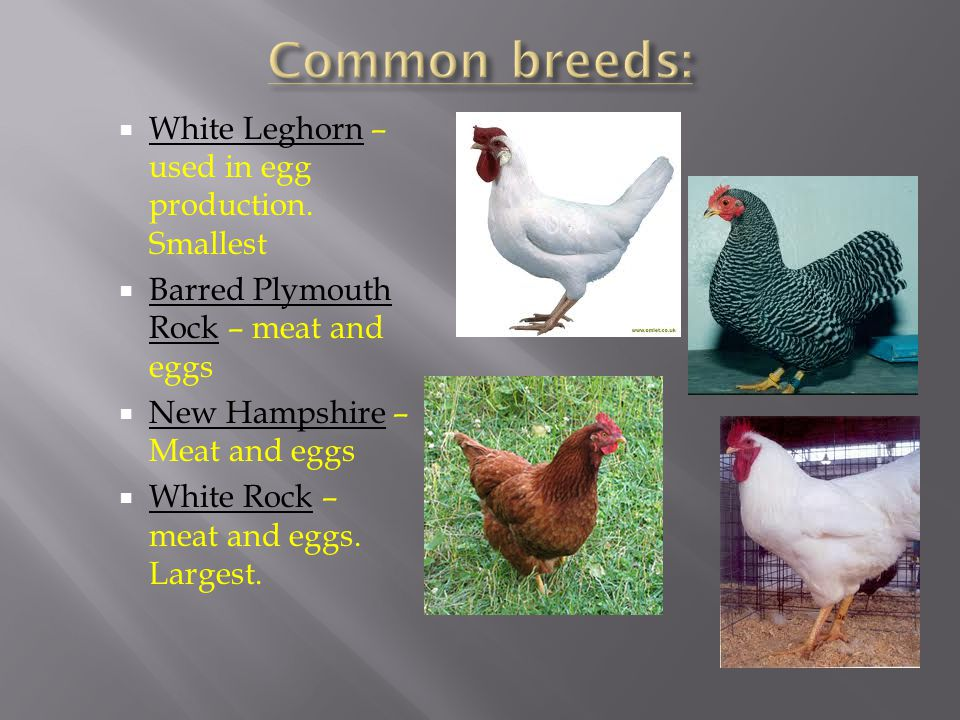 Common breeds: White Leghorn – used in egg production. Smallest