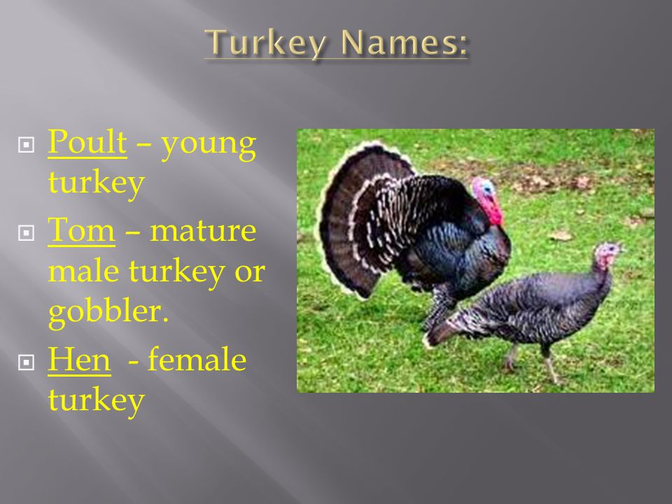 Turkey Names: Poult – young turkey
