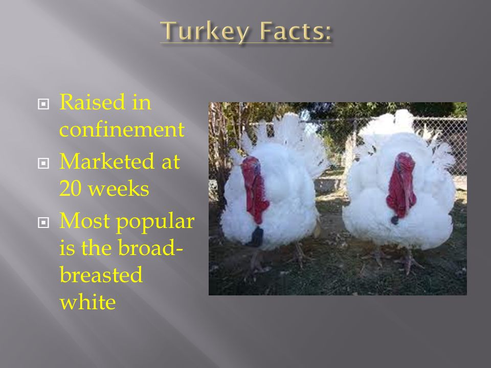 Turkey Facts: Raised in confinement Marketed at 20 weeks