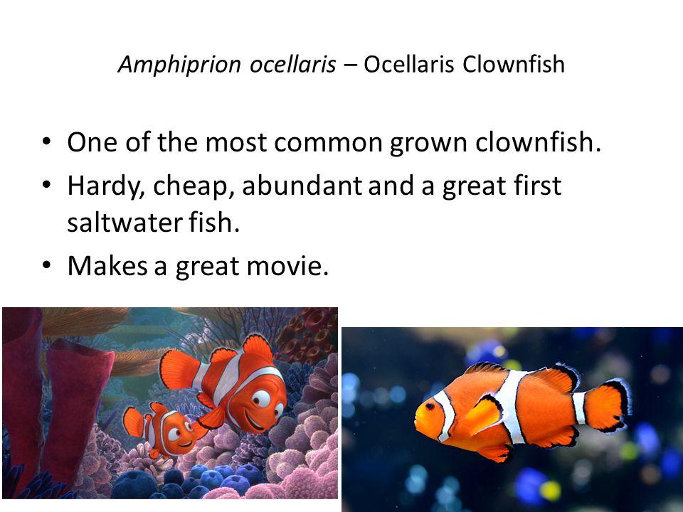 Amphiprion ocellaris – Ocellaris Clownfish