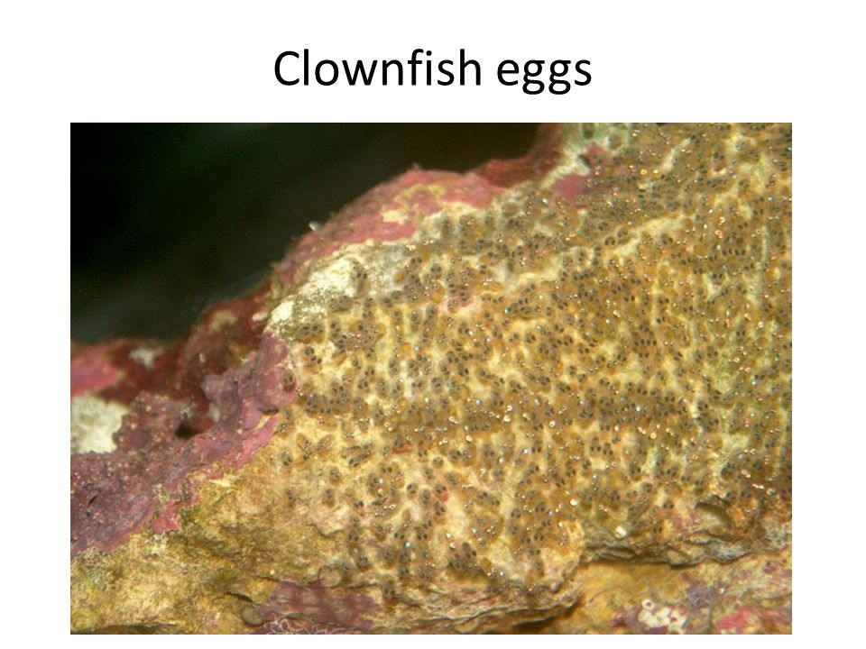 Clownfish eggs