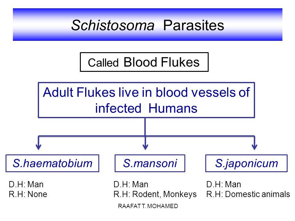 Schistosoma Parasites