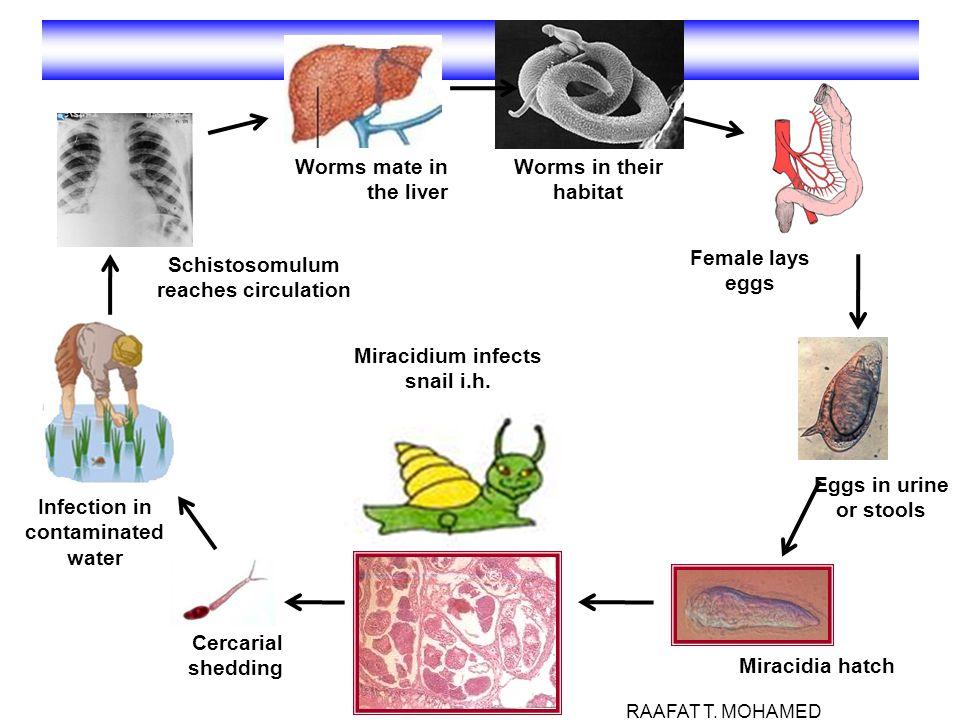 Schistosomulum reaches circulation