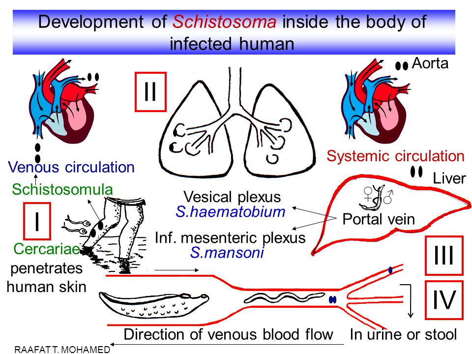 Development of Schistosoma inside the body of infected human