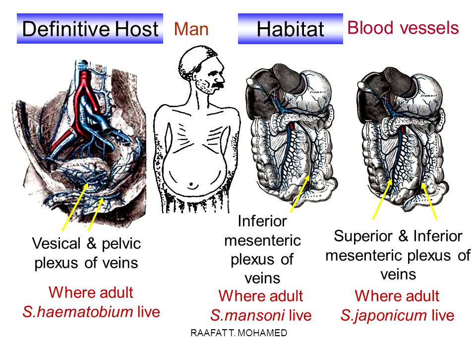 Definitive Host Habitat Man Blood vessels