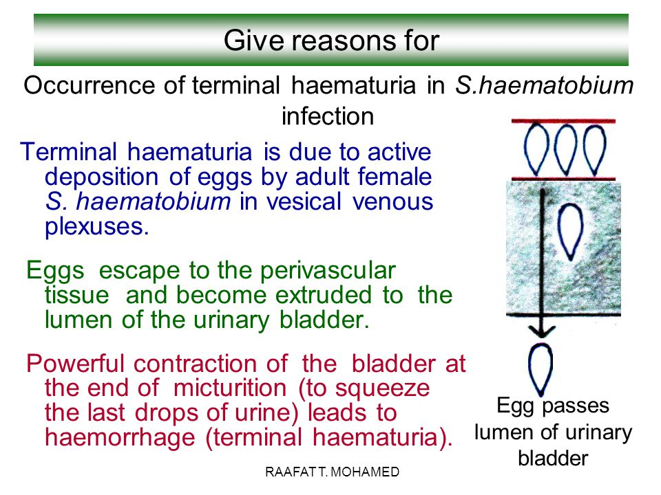 Give reasons for Occurrence of terminal haematuria in S.haematobium infection.