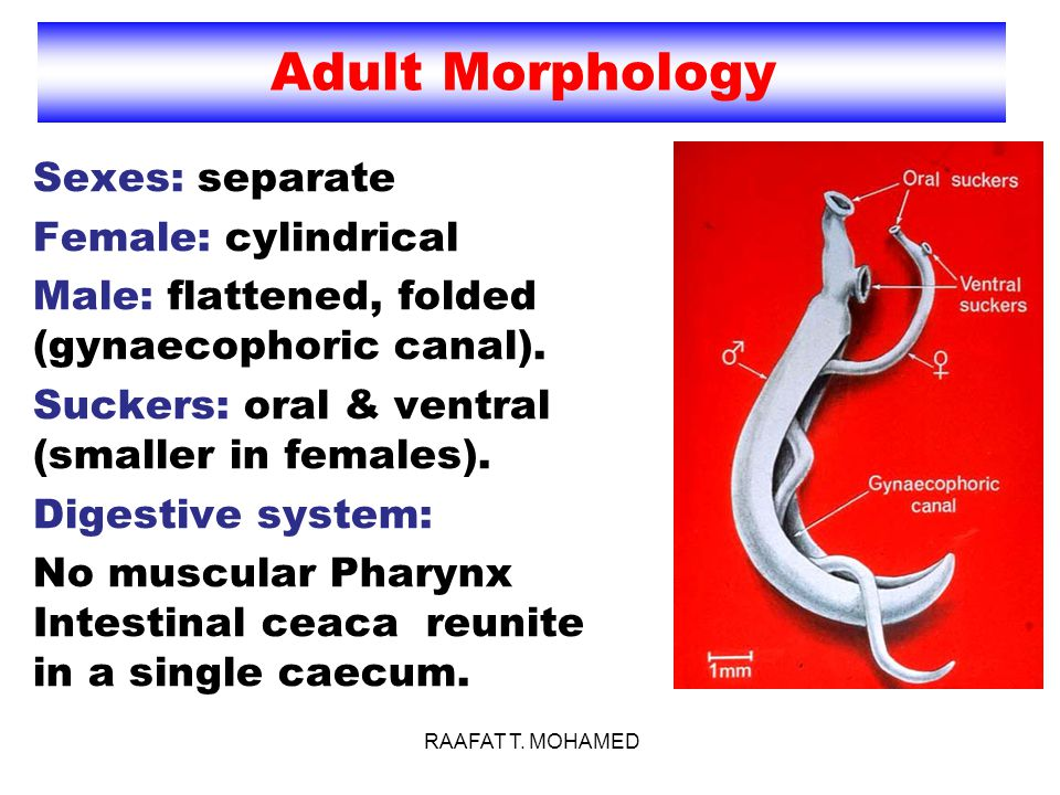 Adult Morphology Sexes: separate Female: cylindrical