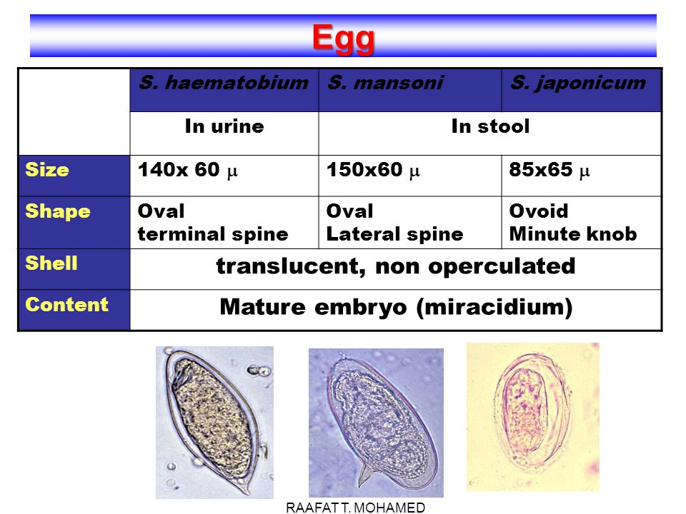 translucent, non operculated Mature embryo (miracidium)